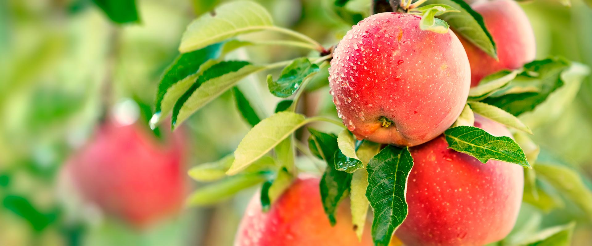 apple-tree-1920-800
